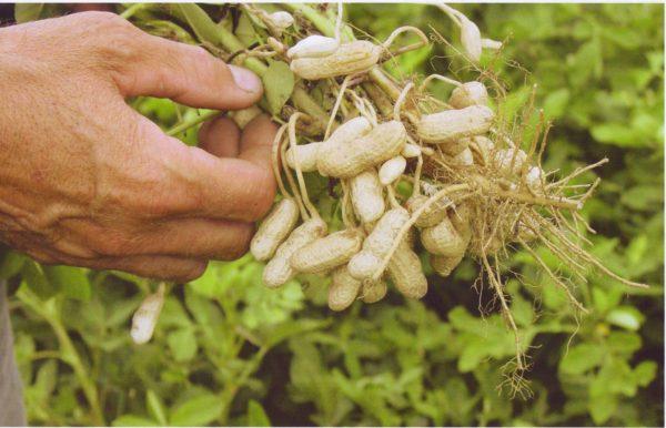 Des cacahuètes landaises ?